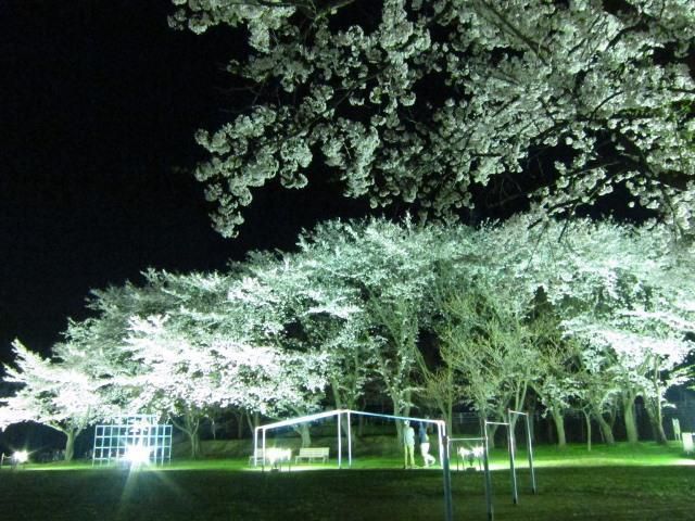 Kitamura Park Cherry Blossom Light Up