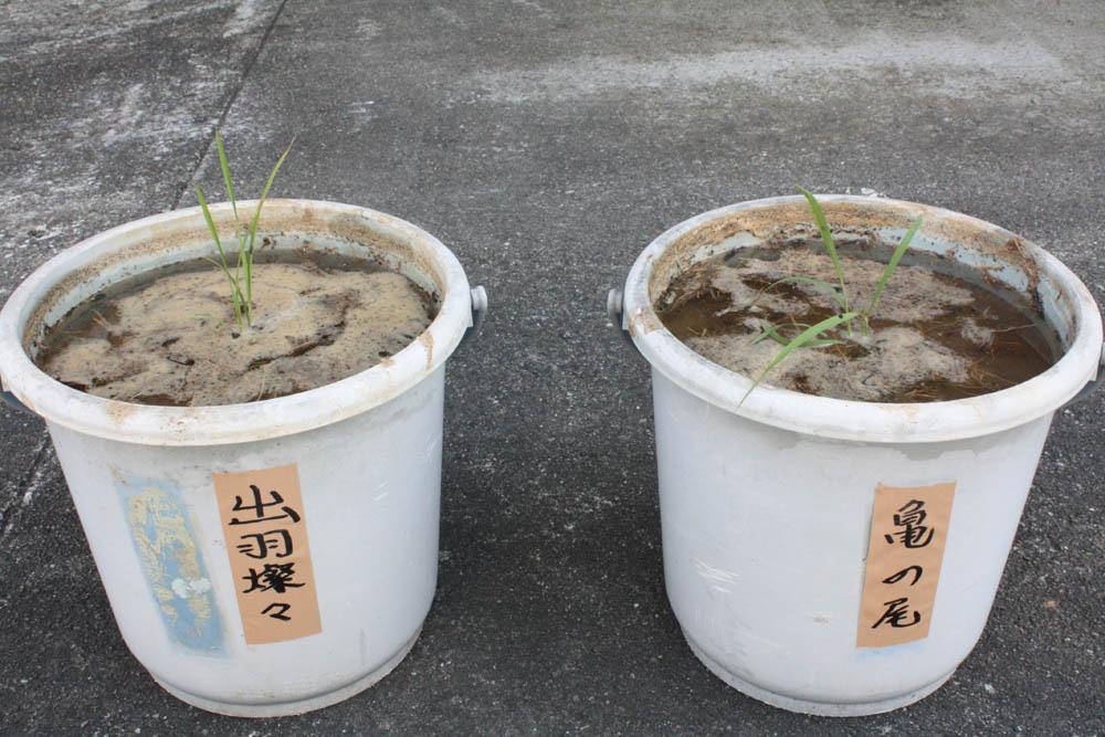 平成23年度 米鶴 バケツDE酒米成長記 第1回:画像