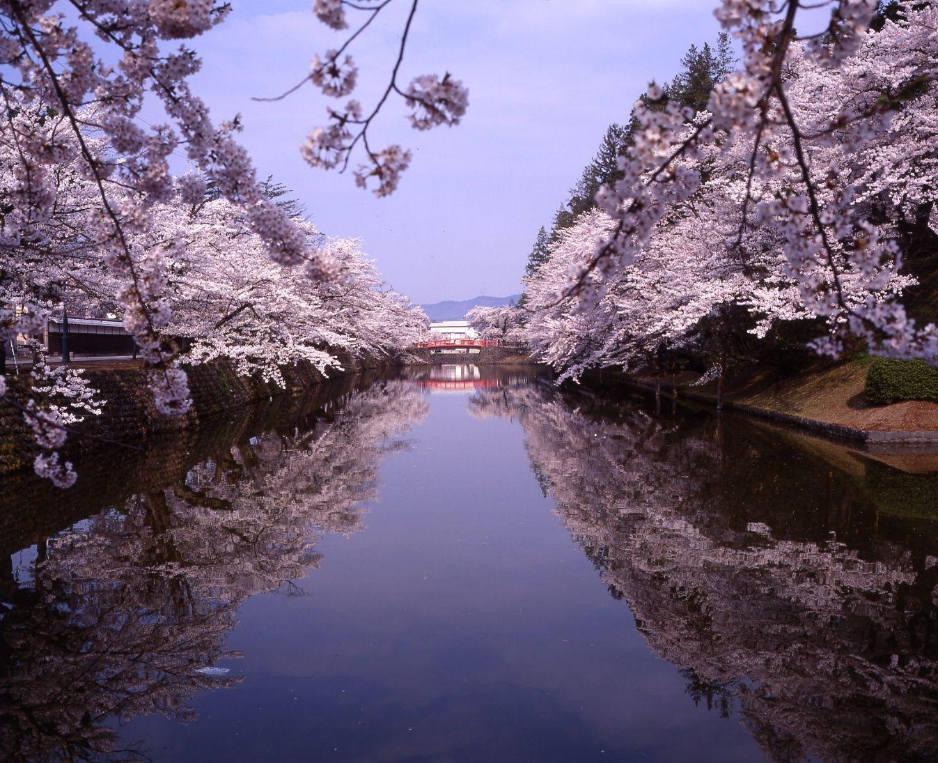 2018 Matsu-ga-saki Park (Uesugi Shrine) cherry tree information: Image