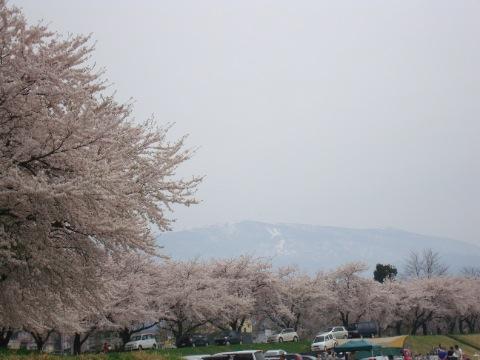 松川河川敷の桜/