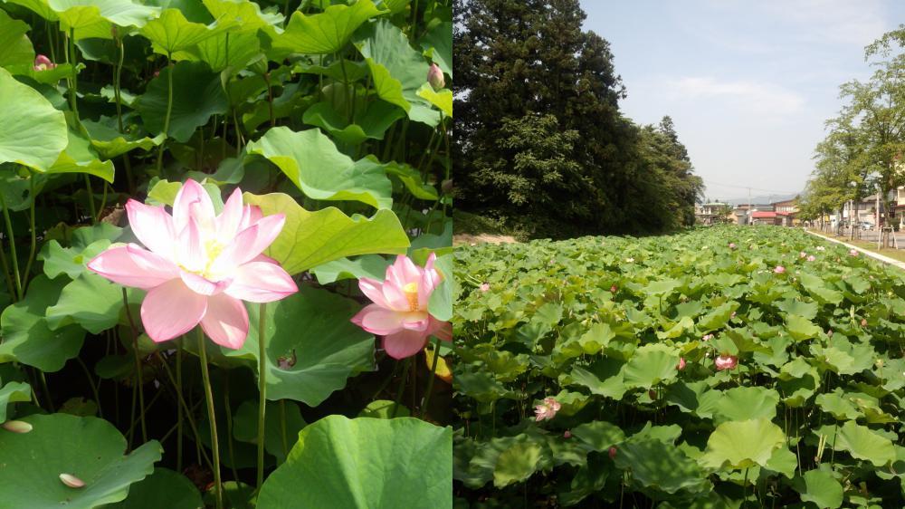 上杉神社の蓮の花が見ごろを迎えております。:画像