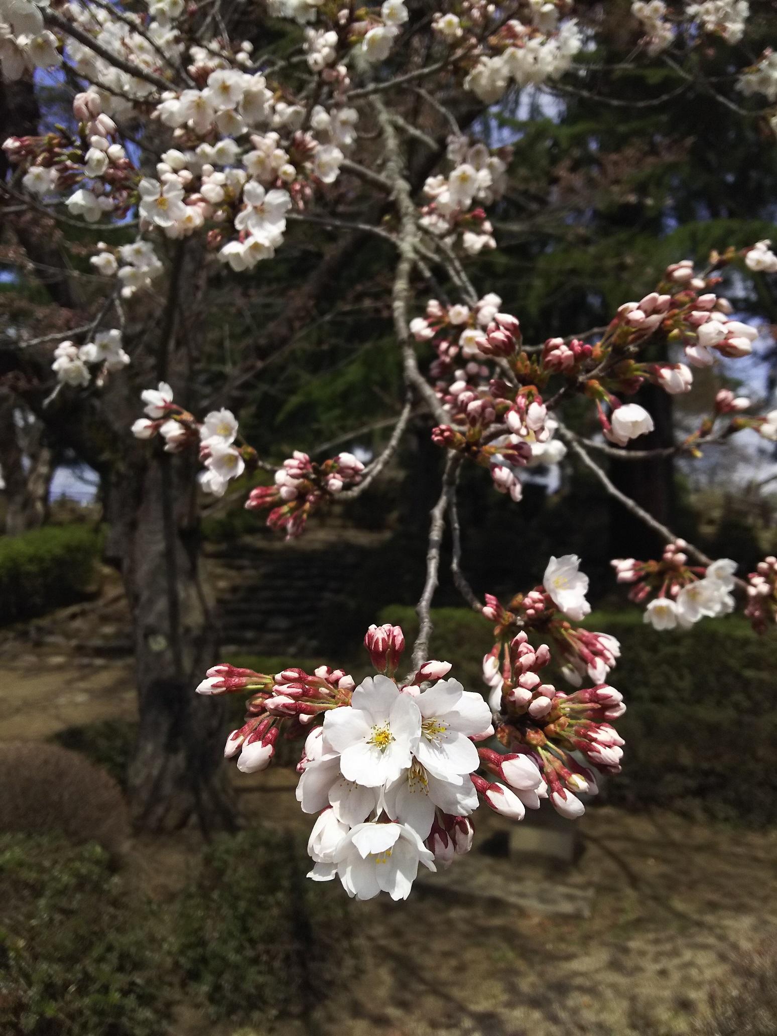 2017年松が岬公園(上杉神社)桜情報4月20日:画像