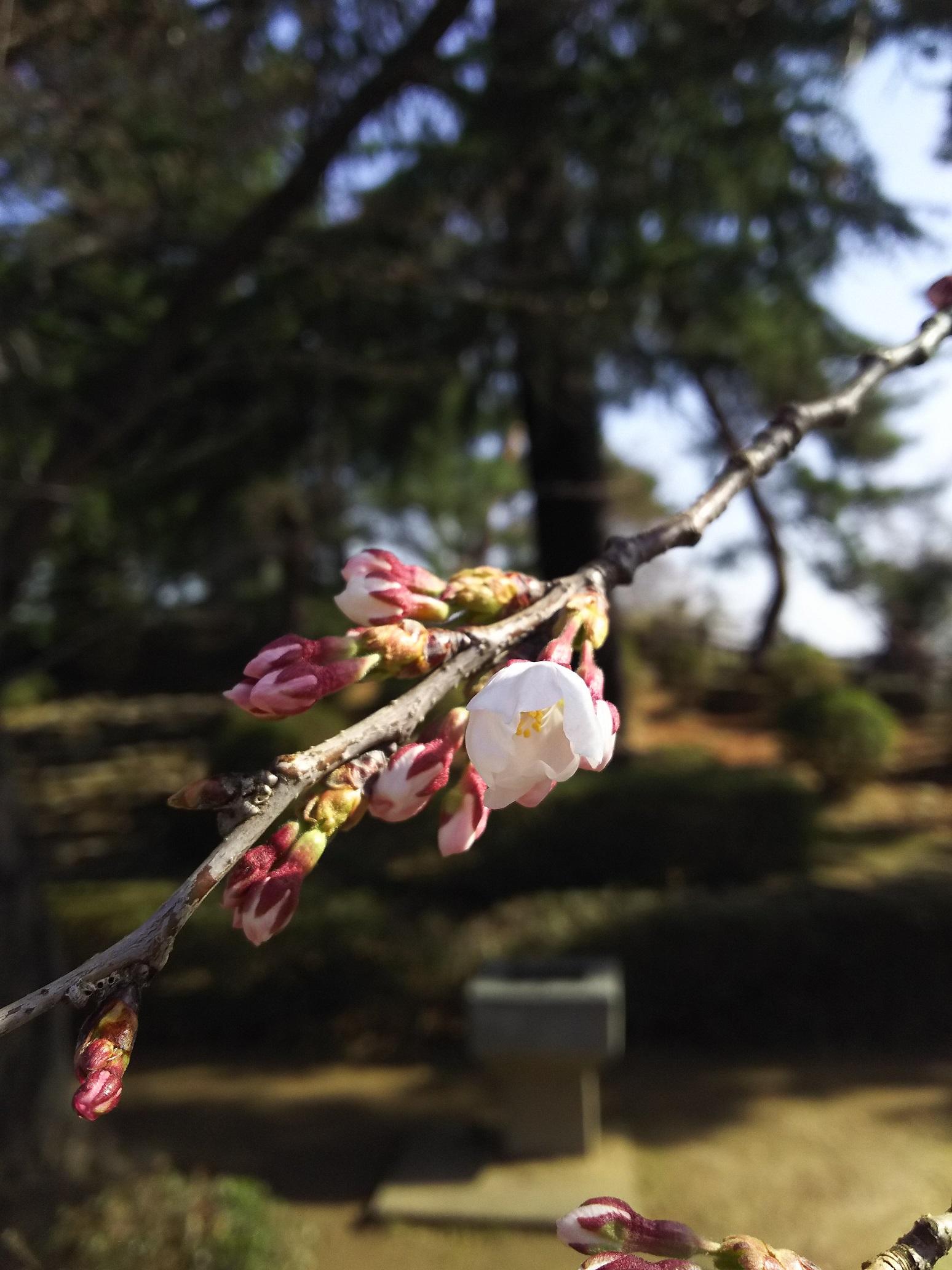 2018年松が岬公園(上杉神社)桜情報4月10日 咲き始め:画像