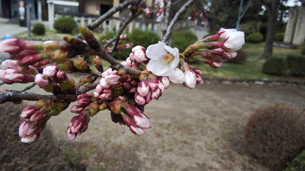 松が岬公園(上杉神社)桜情報 4月9日 開花しました。:画像