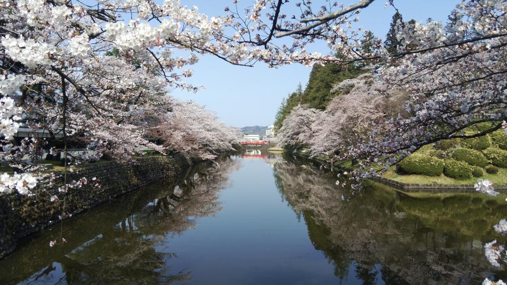 松が岬公園(上杉神社)桜情報 4月17日 満開(8分咲き):画像
