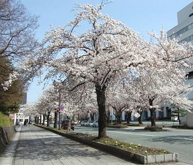 歴史館ブログ【ユーカリの記】2「東大手門通りは満開ですよ〜」/