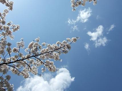 【ユーカリの記 その3】今日も桜は見ごろです/