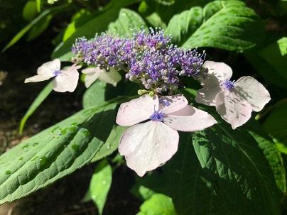 【ユーカリの記 その20】紫陽花が咲き始めました/
