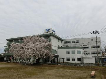 桜が満開になりました:画像