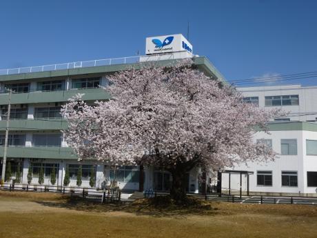 桜が咲きました:画像