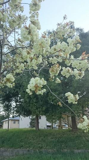黄桜満開です!!:画像