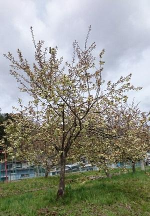 黄桜が満開!! :画像