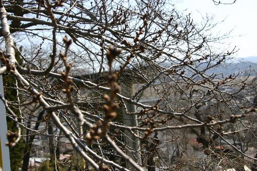 烏帽子山公園の桜開花情報 まだ蕾は堅そう