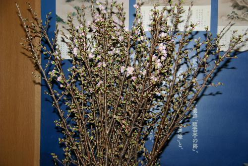 記念館の啓翁桜が開花