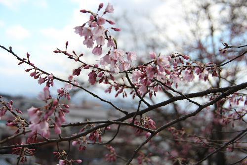 烏帽子山公園の桜がようやく開花 大鳥居のしめ縄の架け替え