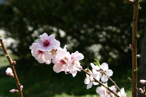 烏帽子山公園の桜は?  記念館の庭のアーモンドの花が見事にさいています。