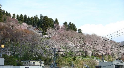 烏帽子山公園桜開花状況 4月22日(土)午前11時現在