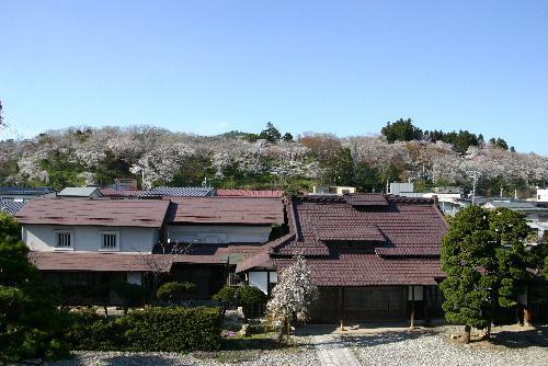 烏帽子山公園の桜情報  4月24日