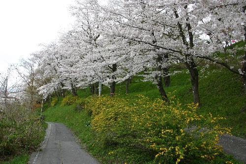 4月26日の烏帽子山公園の桜情報/