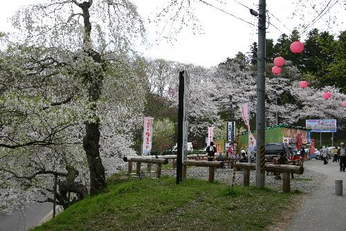 4月26日の烏帽子山公園の桜情報