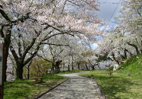 4月28日の烏帽子山公園桜情報 満開から散り始めか