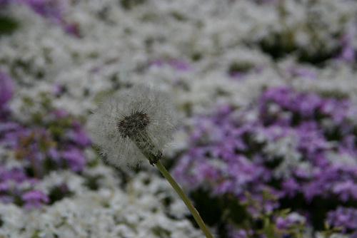 春の終わり 記念館の芝桜も枯れ始めました/