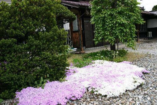 春の終わり 記念館の芝桜も枯れ始めました