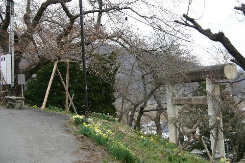 暖かさに誘われて 烏帽子山公園の桜はまもなく開花か