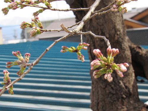 烏帽子山公園の桜が一輪咲いてました。開花宣言も明日、明後日かも