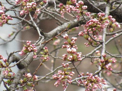烏帽子山公園の桜が開花宣言
