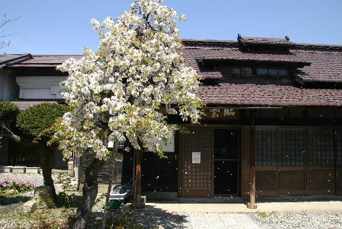 初夏を思わせる陽気に臨雲文庫前の桜が散り始めました:画像