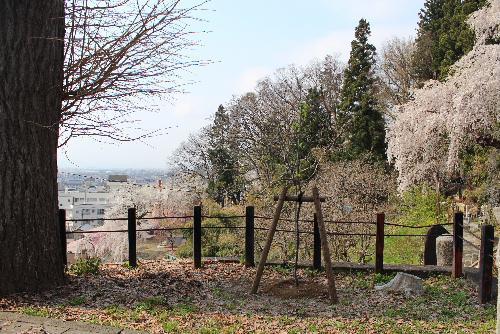 東正寺結城翁墓地にもしだれ梅を植栽