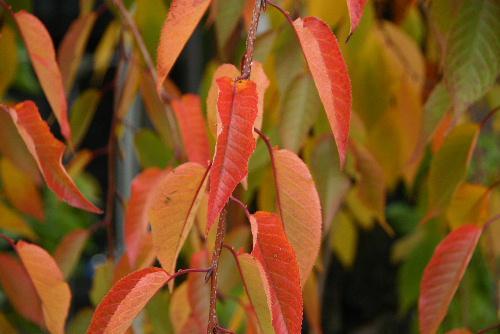 記念館の庭の紅葉も鮮やか 秋になると 詩「ゆずり葉」が