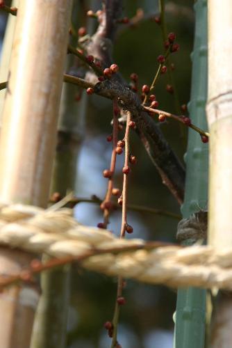 三重県津市の結城神社からのしだれ梅が間もなく咲きそう?