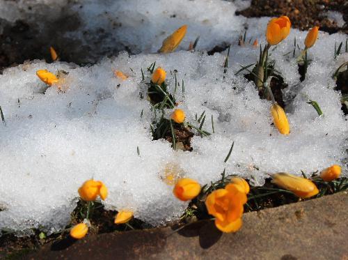 雪から一転ポカポカ陽気の晴天に クロッカスが雪の中で咲いてます