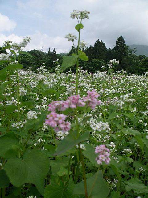 ピンクの花や白い花
