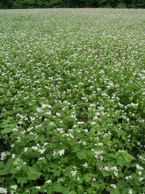 山形の蕎麦の花畑