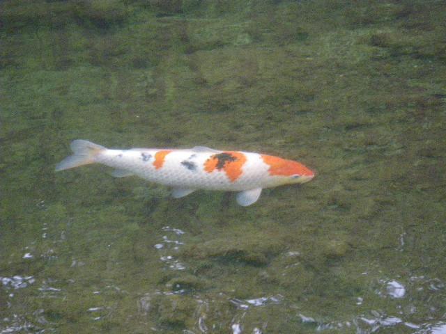 錦鯉が泳いでいます。
