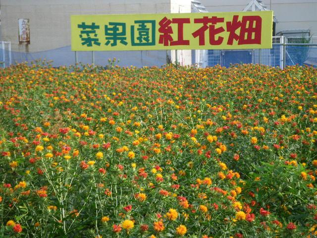菜果園の紅花畑が満開です!