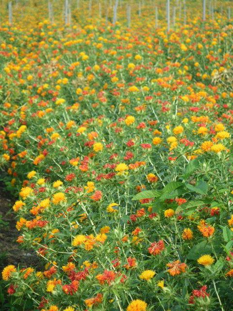 山形県の県花の紅花を鑑賞できます。